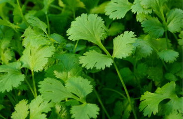 Health benefits of coriander. 