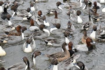 たくさんの鴨