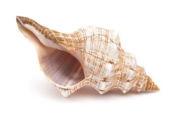 Pleuroploca trapezium,, trapezium horse conch