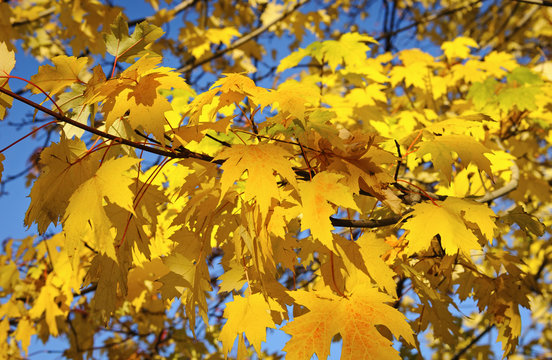 Branch of maple with autumn leaves, Romania