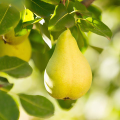 Fototapete - Williams or Bartlett pear
