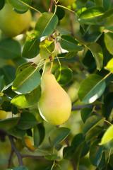 Fototapete - Bartlett or Williams pear tree