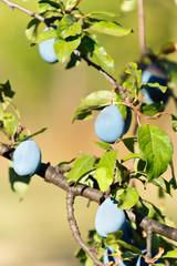 Fototapete - Plum tree