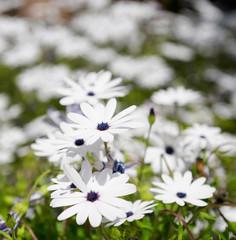White margarita flowers