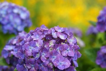 パステル調の紫陽花