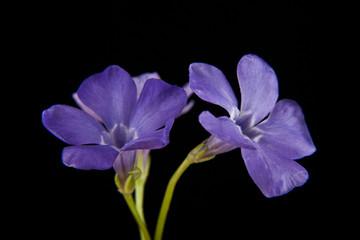 spring lilac-purple flower, periwinkle