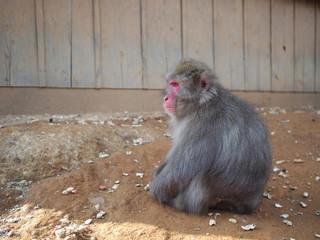 遠くをみつめる猿