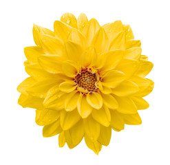 Yellow flower dahlia macro isolated on white