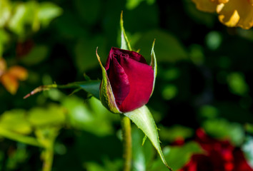 Photo of red rose on a green foliage background