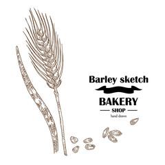 Ears of barley. Hand drawn cereal set. Bakery logo design. Vector