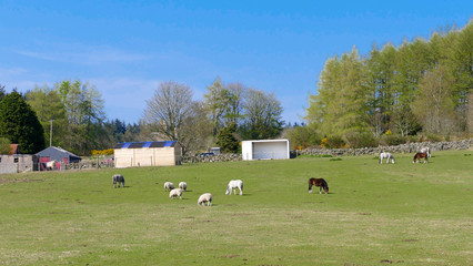 Countryside landscape Farm with blue sky, horses and sheep at the pasture.