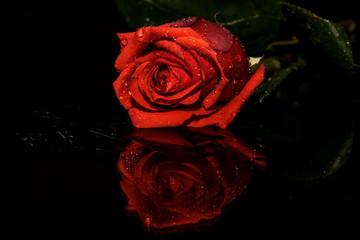 red rose black background water