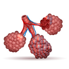 Alveoli anatomy- tiny air spaces in the lungs through which exchanges oxygen and carbon dioxide.