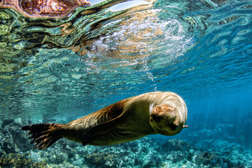 sea lion seal underwater while diving in cortez sea