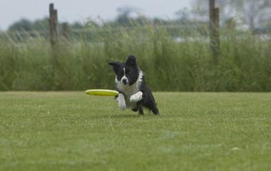 Border Collie vangt de frisbee bijna
