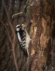 Female Downy Woodpecker clinging onto a tree looking for insects in winter