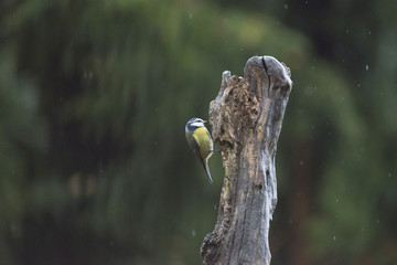 Blue tit (Cyanistes caeruleus) clinging on a tree trunk during r