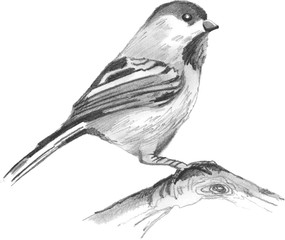 Sparrow on a branch. Pencil drawing, vector