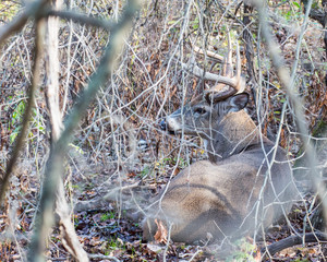 Fototapete - Whitetail Deer Buck Bedded In Thicket