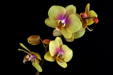 Yellow-pink orchid