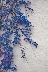 Detail of autumnal blue ivy on painted wall. Leaves on white pla