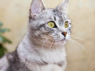 The nice gray fluffy cat looks around herself