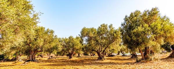 Olivenbaumhain, Olivenbäume (Olea europaea)