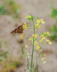 motyl siedzący na kwitnącym rzepaku