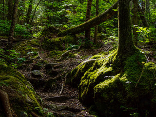 hiking trail through deep forest interior
