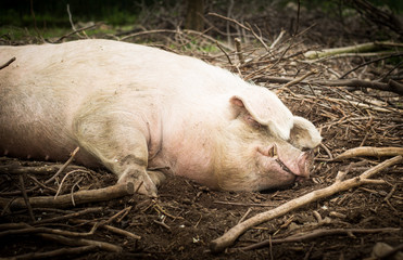 Pig is sleeping in a sanctuary for freed animals