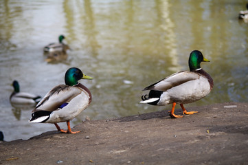 wild mallard Ducks walks on the shore of pond and swimming inside lake water.
