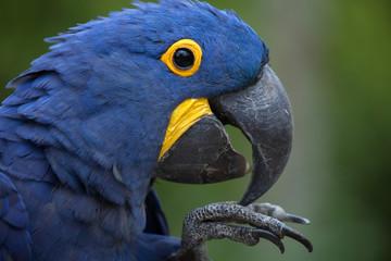 Fototapete - Hyacinth macaw (Anodorhynchus hyacinthinus).