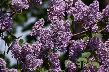 Blossoming lilac (Syringa vulgaris).