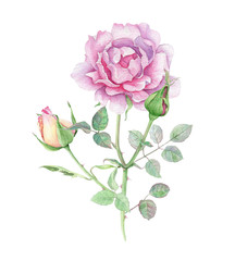 Watercolor pink rose with buds