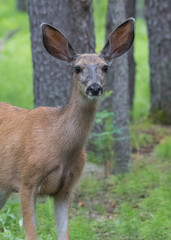 Mule Deer Looks at Camera