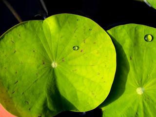 Water dew on lotus leaf