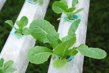sprout in Hydroponics farm