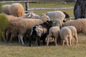 Feeding the sheep farm