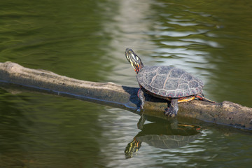 A painted turtle gets some sun on a log in fall in New England