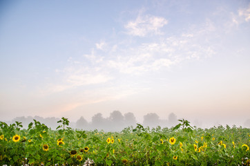 nice and warm in summer field with blooming sunflower blossoms