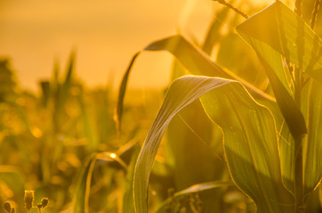 corn in the morning mist. nice and warm in summer field with blooming sunflower blossoms