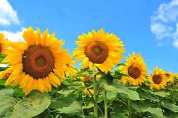 Sunflower Fields in Japan