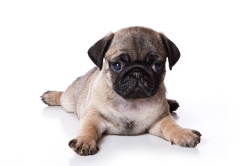 Puppy pug (isolated on white background)