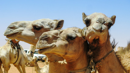 Camels in the camel market in Omdurman, Sudan