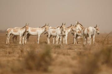 wild asses in the desert little rann of kutch, males fight, mating time, little rann of kutch, nature habitat, indian gujarat, indian wildlife, very rare species