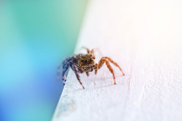 Macro of Jumping Spider colorful tone,