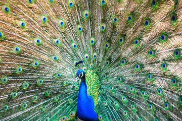 Beautiful male indian peacock (Pavo cristatus) showing off in a park