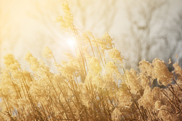 Blurred and soft dry grass flowers plant in light flare, meadow