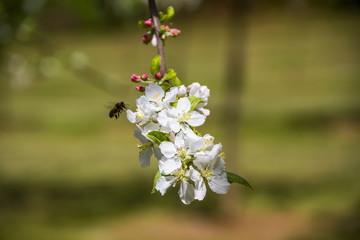 Abeja sobre flor de manzano