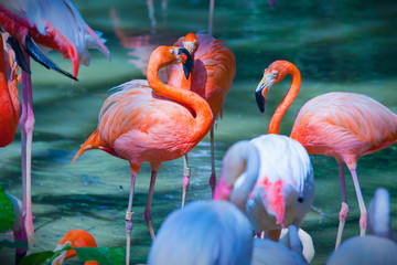 Pink flamingos feeding on water